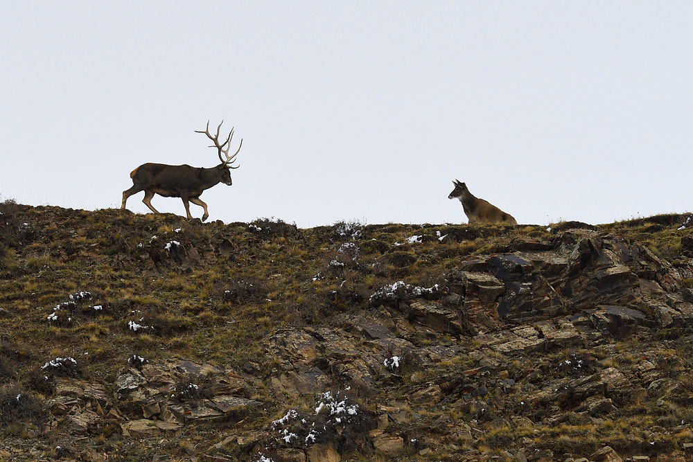 Male and female White-lipped or Thorold's deer (Cervus albirostris) found in the mountains of Yushu, Tibetan Plateau, Qinghai, China