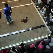 THE PHILIPPINES (Manila). 2009. The referee pulls away the winning bird as it's competitor lies dead after a fight to the death between two game cocks, each with three inch razor sharp blades fastened to their left ankles at the Makati Coliseum, Makati City, Manila. Photo Tim Clayton <br /> <br /> Cockfighting, or Sabong as it is know in the Philippines is big business, a multi billion dollar industry, overshadowing Basketball as the number one sport in the country. It is estimated over 5 million Roosters will fight in the smalltime pits and full-blown arenas in a calendar year. TV stations are devoted to the sport where fights can be seen every night of the week while The Philippine economy benefits by more than $1 billion a year from breeding farms employment, selling feed and drugs and of course betting on the fights...As one of the worlds oldest spectator sports dating back 6000 years in Persia (now Iran) and first mentioned in fourth century Greek Texts. It is still practiced in many countries today, particularly in south and Central America and parts of Asia. Cockfighting is now illegal in the USA after Louisiana becoming the final state to outlaw cockfighting in August this year. This has led to an influx of American breeders into the Philippines with these breeders supplying most of the best fighting cocks, with prices for quality blood lines selling from PHP 8000 pesos (US $160) to as high as PHP 120,000 Pesos (US $2400)..