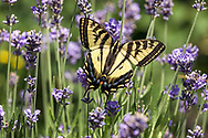 A Western Tiger Swallowtail (Papilio rutulus) adult foraging for nectar from Lavender flowers in a Fraser Valley garden.  The adult Western Tiger Swallowtails are Nectarivores, feeding on nectar from flowers only.  The immature caterpillars feed on plant leaves - mostly cottonwood and birch but including willows and wild cherry.