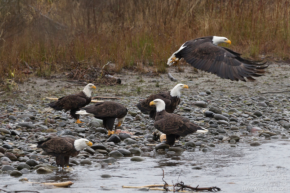 Six bald eagles (Haliaeetus leucocephalus) feast on fish along the Nooksack River in Whatcom County, Washington. Several hundred bald eagles winter along the Nooksack and Skagit rivers in the North Cascades of Washington to feast on spawned out salmon.