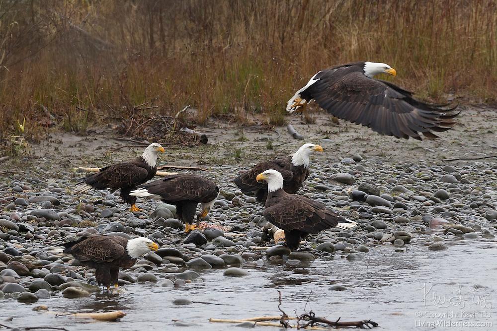 Six bald eagles (Haliaeetus leucocephalus) feast on fish along the Nooksack River in Whatcom County, Washington. Several hundred bald eagles winter along the Nooksack and Skagit rivers in the North Cascades of Washington to feast on spawned out salmon.