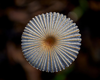 Mushroom after the rain in black wood mulch. Image taken with a Fuji X-H1 camera and 80 mm f/2.8 macro lens