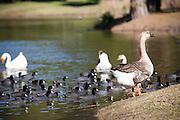 Brown Chinese Goose At El Dorado Regional Park In Long Beach California