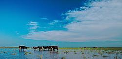 Tropa de bois bebem água em açude. FOTO: Eduardo Rocha/Preview.com