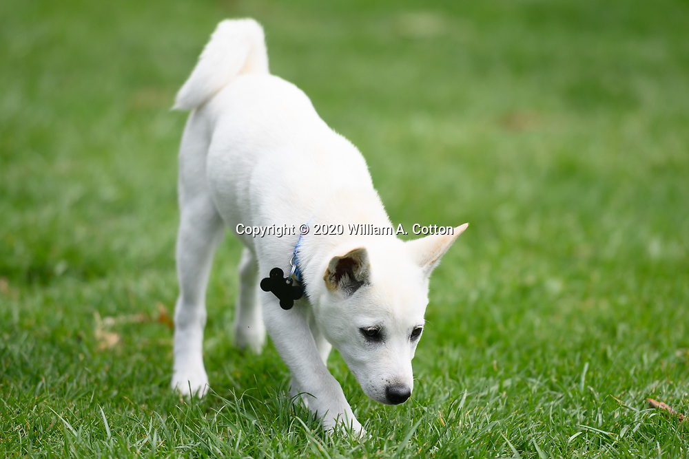 Mallows, Animal Friends Alliance foster puppy, plays in the yard, May 16, 2020.