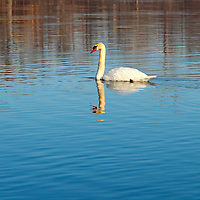 """""""Self Reflection""""<br /> <br /> The beauty of a lovely swan and reflection on a cold winter day in waters of blue!!<br /> <br /> Nature of this World by Rachel Cohen"""