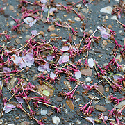 Pink stems of the cherry blossoms knocked off the trees by the rain after the peak bloom of the cherry blossoms in Washington DC.