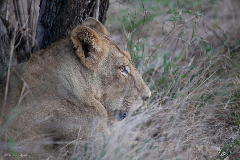 Lion. Kruger National Park, Limpopo Province, South Africa. Organization for Tropical Studies Trip 2009.