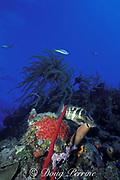 Nassau grouper, Epinephelus striatus, Endangered Species, on coral reef, Belize, Central America ( Caribbean Sea )