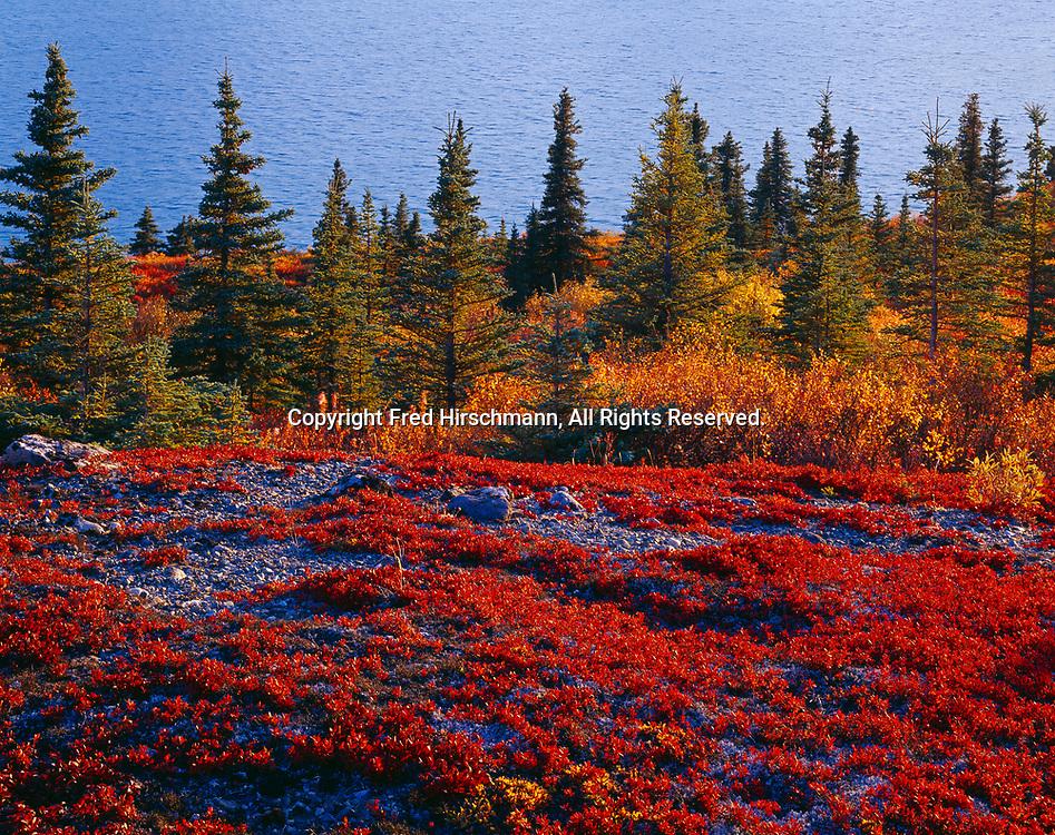 Autumn red of alpine bearberry, Arctostaphylos alpina, tundra above Lower Twin Lake, Lake Clark National Park, Alaska.