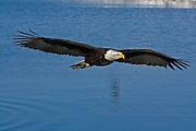 Bald Eagle, Haliaeetus leucocephalus, flying, Kenai Peninsula, Homer Spit, Homer, Alaska. Digital original, #2006_0663 ©Robin Brandt