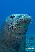 Hawaiian monk seal, Monachus schauinslandi, male ( critically endangered species ), Lehua Rock, near Niihau, off Kauai, Hawaiian Islands, USA( Central Pacific Ocean )