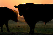 Male Bull cows in farm pasture field at morning sunrise, Merced County, Central Valley, California
