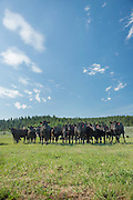 Black Angus cattle spend most of their lives on pasture eating grass at Panther Ranch in Donnelly, Idaho