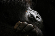 A profile of the face of an endangered mountain gorilla (Gorilla beringei beringei),Volcanoes National Park,  Rwanda