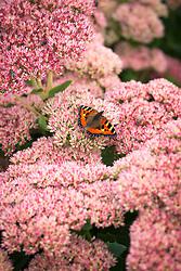 Tortoiseshell butterfly on Sedum 'Autumn Joy' syn. Sedum (Herbstfreude Group) 'Herbstfreude'