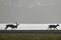 Père David's deer, or Milu, Elaphurus davidianus, Hubei Tian'ezhou Milu National Nature Reserve, Shishou, Hubei, China. The dominant harem-keeping stag in the herd. A stag is chasing a female beside the Yangtze river.