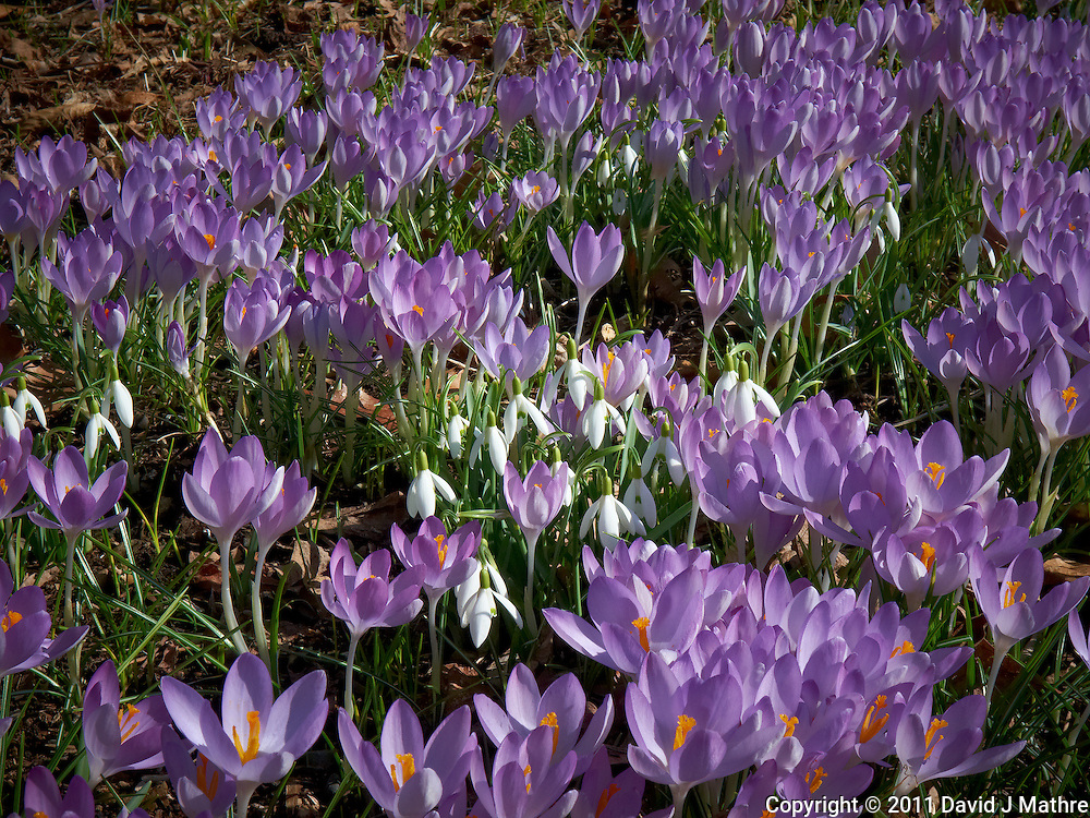 Field of Snow Drops and Purple Crocuses  -- Spring is Coming. Image taken with a Leica D-Lux 5 (ISO 100, 14.9 mm, f/8, 1/320 sec).