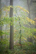 Early autumn in Dennis Knoll plantation. Young and old trees almost embrance in this colourful scene, enhanced by heavy fog that had infiltrated even the deepest sections of the woodland. An intimate landscape scene in the Derbyshire Peak District, England, UK.