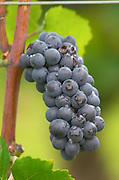 Bunches of ripe grapes. Pinot noir. Domaine Bertagna, Vougeot, Cote de Nuits, d'Or, Burgundy, France