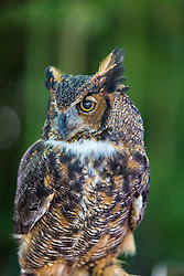 With its long, earlike tufts, intimidating yellow-eyed stare, and deep hooting voice, the Great Horned Owl is the quintessential owl of storybooks. This powerful predator can take down birds and mammals even larger than itself, but it also dines on daintier fare such as tiny scorpions, mice, and frogs. It's one of the most common owls in North America, equally at home in deserts, wetlands, forests, grasslands, backyards, cities, and almost any other semi-open habitat between the Arctic and the tropics.<br /> <br /> Great Horned Owls are fierce predators that can take large prey, including raptors such as Ospreys, Peregrine Falcons, Prairie Falcons, and other owls. They also eat much smaller items such as rodents, frogs, and scorpions. Great Horned Owls have large eyes, pupils that open widely in the dark, and retinas containing many rod cells for excellent night vision. Their eyes don't move in their sockets, but they can swivel their heads more than 180 degrees to look in any direction. They also have sensitive hearing, thanks in part to facial disc feathers that direct sound waves to their ears.