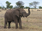 A young male African elephant (Loxodonta  africana) stretches  its trunk to smell the air on the approach of a vehicle. Serengeti National Park, Tanzania.
