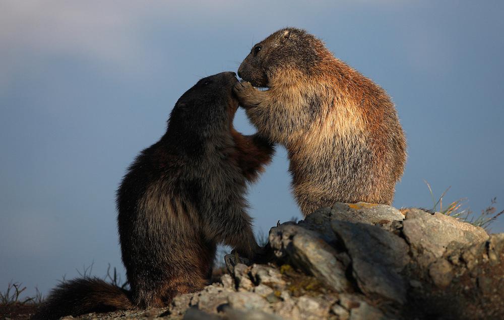 Alpine Marmot (Marmota marmota) playing toghether, Hohe Tauern National Park, Carinthia, Austria