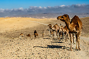 Desert Agriculture A heard of camels Photographed in the Negev Desert, Israel