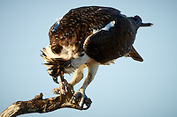 Osprey Finishing a Fish for Breakfast. Merritt Island National Wildlife Refuge. Image taken with a Nikon D800 and 500 mm f/4 lens (ISO 100, 500 mm, f/4, 1/640 sec)