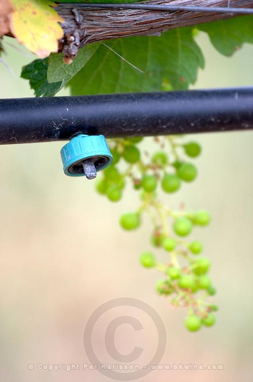 Drip nozzle. Irrigated vines. Unripe grapes. Kir-Yianni Winery, Yianakohori, Naoussa, Macedonia, Greece