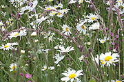Wildflowers, Ox-eye daisy, Red campion
