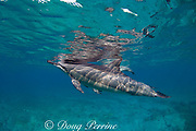 Hawaiian spinner dolphins or Gray's spinner dolphin ( Stenella longirostris longirostris ) Kona Coast, Hawaii Island ( Central Pacific )