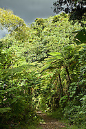 Tree ferns make up some of the understory of the El Yunque National Forest