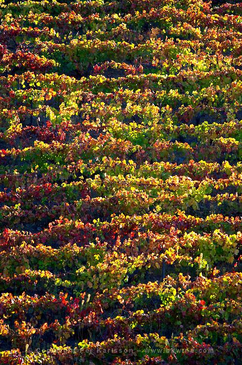 autumn colours vineyards quinta da gaivosa douro portugal