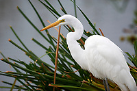 Great Egret (Ardea alba) foraging along edge of  Lake Chapala, Jocotopec, Jalisco, Mexico