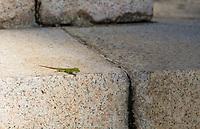 A Cuban Green Anole, Anolis porcatus, on the base of a monument in Camagüey, Cuba