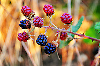 Wild Blackberries grow rampant in Oregon