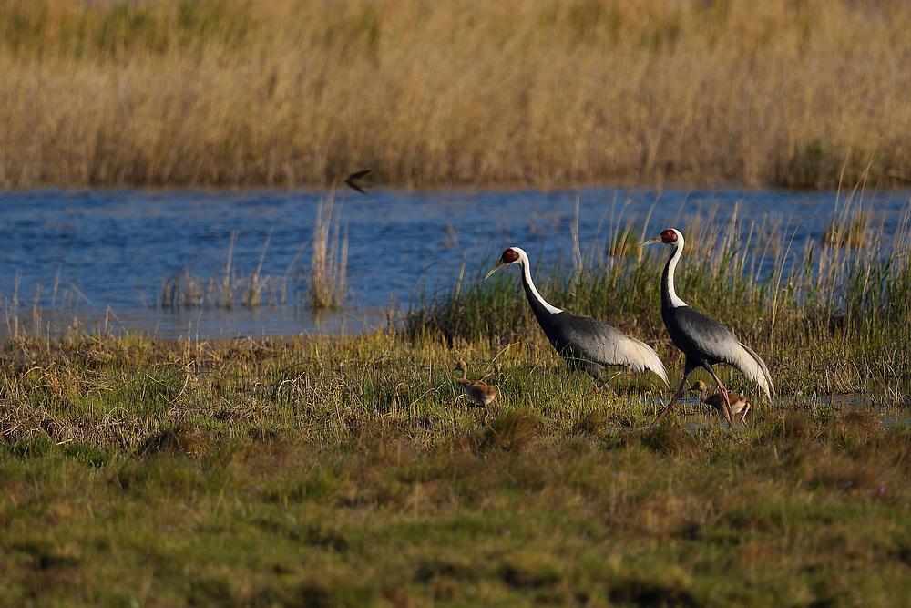 Two White-naped Crane, birds Grus vipio, walking along the water with chicks Inner Mongolia, China