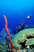diver photographs brain coral, Colpophyllia sp., and <br /> red rope sponges, Aplysina cauliformis,<br /> Grand Cayman Island ( Caribbean Sea )   MR 202