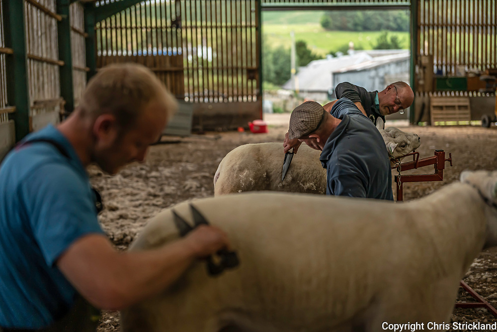 Hownam, Kelso, Scottish Borders, Scotland, UK. 4th September 2021. The Weir's of Mainside Farm in the Cheviot Hills dress their Texel tups for Kelso Ram Sales. The sale is the biggest of its kind in Europe.