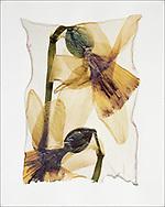 FLOWERPRESS - Wild Daffodil - polaroid lift photo art print by Paul Williams. These rare and striking polaroid lift was taken iby Paul Williams in 1992 and was awarded a Polaroid European Final Art Award.