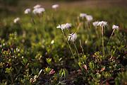 "Blooming sand pink (Dianthus arenarius) on coastal dunes in late afternoon, nature reserve ""Užava"" (dabas liegums ""Užava""), Kurzeme, Latvia Ⓒ Davis Ulands | davisulands.com"