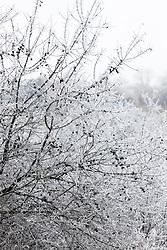 Hoar frost on sloes. Blackthorn. Prunus spinosa