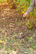 Hugues Martin, the owner of the truffles farm showing how you use a twig to find truffles, when you see truffle flies fly flying when you stir the leaves on the ground you know that there is a truffle in the ground Truffiere de la Bergerie (Truffière) truffles farm Ste Foy de Longas Dordogne France