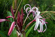 A purple crinum lily (Crinum Asiaticum) blooms in the lush jungle near Sayulita, Mexico.