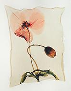 Pressed Field Poppy ( Papaver rhoeas )- Polaroid lift.