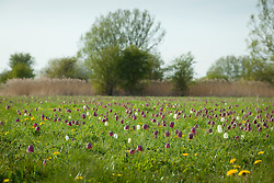 Fritillaries in the North Meadow, Cricklade, Gloucestershire. Snake's head fritillary. Fritillaria meleagris