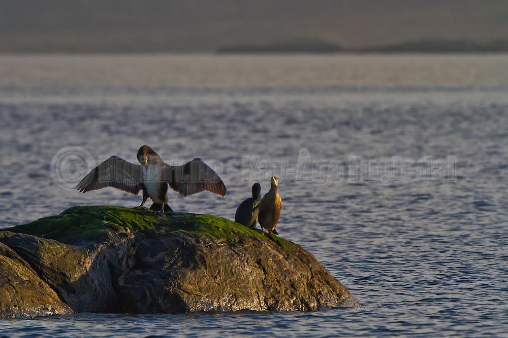 Skarv på skjær soltørker vingene sine   Cormorant on a rock sundrying it's feathers.