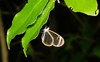 Glasswing Butterfly, Greta morgane, perched on a leaf at Bosque Eterno de los Niños (Children's Eternal Rainforest), Monteverde, Costa Rica