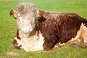 Sleepy pedigree Hereford bull waking up from a sleep, Suffolk, UK